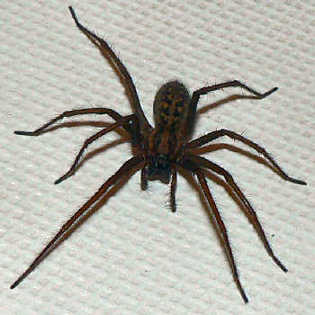 giant-house-spider1